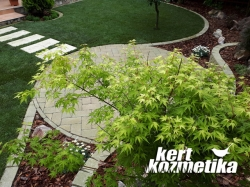 Acer palmatum 'Orange Dream (50)